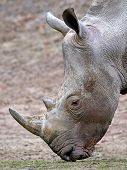 image of afrikaner  - White Rhinoceros looking for food in its habitat - JPG