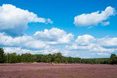 picture of ling  - heathland with flowering common heather  - JPG
