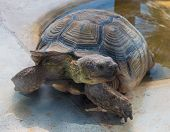 picture of testudo  - Tortoise out of the water  - JPG