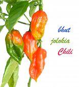 Постер, плакат: pepper