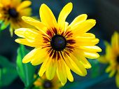 stock photo of black-eyed susans  - Bright yellow rudbeckia or Black Eyed Susan flowers in the garden - JPG