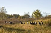 foto of wild turkey  - A Flock of over a dozen wild turkys on an early autumn day - JPG