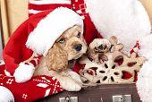 stock photo of puppy christmas  - puppy christmas American Cocker Spaniel - JPG