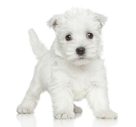 image of westie  - Funny Westy puppy posing on a white background - JPG