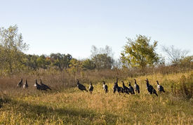 pic of wild turkey  - A Flock of over a dozen wild turkys on an early autumn day - JPG