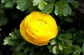 picture of begonias  - A yellow begonia surrounded by green leaves - JPG