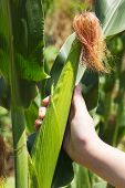 picture of corn  - Green ear of corn in girl hand - JPG