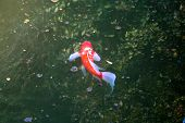 picture of koi  - Red japanese koi slowly swimming in the pond - JPG