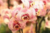 pic of moth  - Phalaenopsis - JPG