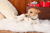 picture of jack russell terrier  - Funny little dog Jack Russell terrier on carpet at home - JPG