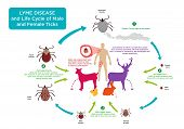 foto of larva  - Life Cycle of Male and Female Tick bug with its common hosts and human with Lyme Disease which is prevalent in countries like Canada - JPG