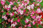stock photo of braveheart  - A bicolor pink wax begonia  - JPG