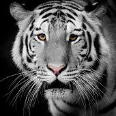 pic of tigress  - Close Up Tiger portrait animal wildlife on black background - JPG