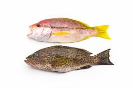 picture of red snapper  - Red Snapper Fish and areolate grouper  - JPG