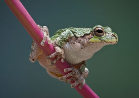 image of pokeweed  - A baby grey tree frog is perched on a branch of pokeweed - JPG