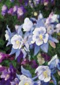 image of colorado high country  - Painting of blue purple and white columbine flowers - JPG