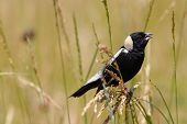 picture of meadowlark  - A Bobolink perched in the tall grass