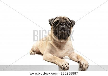 poster of Cute Pet Dog Pug Breed Sitting And Smile With Happiness Feeling So Funny And Making Serious Face. Pu