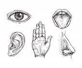 Sense Organs. Hand Drawn Mouth And Tongue, Eye, Nose, Ear And Hand Palm. Engraving Five Senses Vecto poster