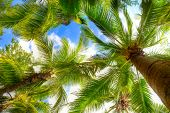 picture of foreshortening  - palm tree on blue sky and white clouds - JPG