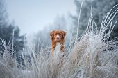 Portrait Of A Dog In The Snow. Close-up. Winter Mood. Nova Scotia Duck Tolling Retriever, Toller poster