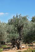 image of gethsemane  - The great city of Jerusalem - JPG
