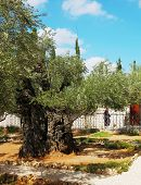 stock photo of gethsemane  - Jerusalem - JPG