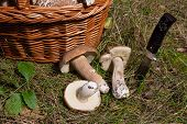 Several Porcini Mushrooms (boletus Edulis, Cep, Penny Bun, Porcino Or King Bolete) With Knife And Wi poster