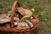 Porcini Mushrooms (boletus Edulis, Cep, Penny Bun, Porcino Or King Bolete) In The Wicker Basket On N poster