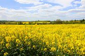 picture of rape-seed  - Oil Seed Rape field with blue skie and clouds in the background - JPG
