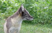 stock photo of arctic fox  - An Arctic Fox  - JPG