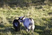 image of pygmy goat  - Two adorable baby pygmy goats side by side - JPG