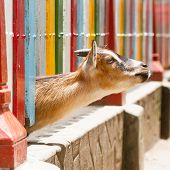 foto of pygmy goat  - Brown goat looking through a colorful fence