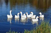 Gaggle Of Domestic Geese Swimming In Pond poster