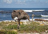 picture of ostrich plumage  - The Ostrich is large flightless birds native to Africa - JPG