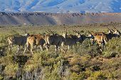 stock photo of eland  - A group of Eland in South Africa - JPG
