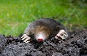 pic of mole  - A mole is crawling through the sand - JPG