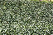 foto of english ivy  - A wall of green english ivy for backgrounds and texture - JPG