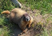 picture of marmot  - yellow bellied marmot in Rocky Mountain National Park - JPG