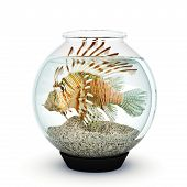picture of lion-fish  - Lion fish to big for the fishbowl - JPG