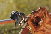 pic of snipe  - Gun dog near to trophies horizontal outdoors - JPG