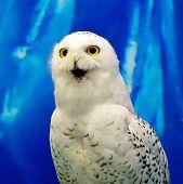 foto of snowy owl  - Closeup Snowy Owl  - JPG