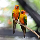 image of parrots  - Beautiful colorful parrot Sun Conure  - JPG