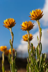 foto of bogong  - Summer daisies on the Bogong High Plains - JPG