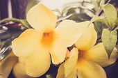 stock photo of trumpet flower  - Golden Trumpet flower or Allamanda cathartica in the garden or nature park - JPG