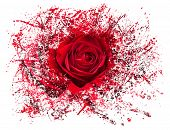 stock photo of breakup  - Detailed close shot of velvet red rose breaking into many pieces to suggest either a breakup or perhaps excitement as the rose devolves into abstract illustration - JPG