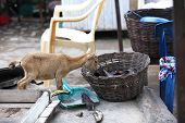stock photo of plantain  - Young african goat eats plantain out of a basket - JPG