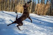 stock photo of chocolate lab  - A pure bred chocolate lab catching a frisbee in mid - JPG