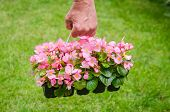 foto of begonias  - Hand holds container of the pink blossom begonia in the garden - JPG