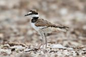 stock photo of killdeer  - Baby Killdeer (Charadrius vociferus) looking for food among grass and wild flowers